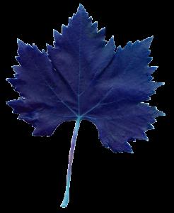 feuille de vigne bleu Domaine des Lauribert
