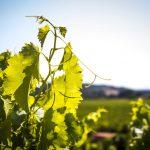 jeune sarment vigne Lauribert